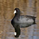American Coot  by Jim Cumming