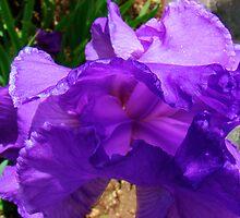 At the Heart of an Iris by Honario