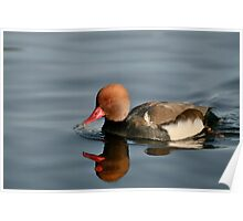 Red-crested Pochard on blue water Poster