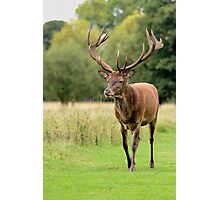 Red Deer Stag walking towards the camera Photographic Print