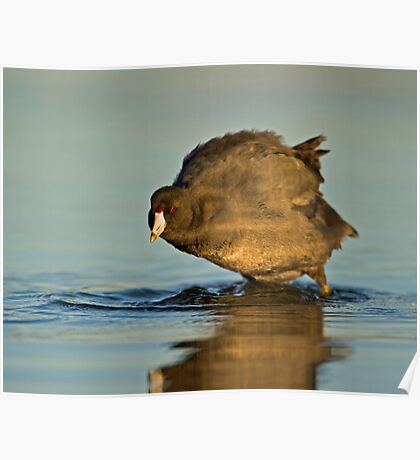Coot with Attitude Poster