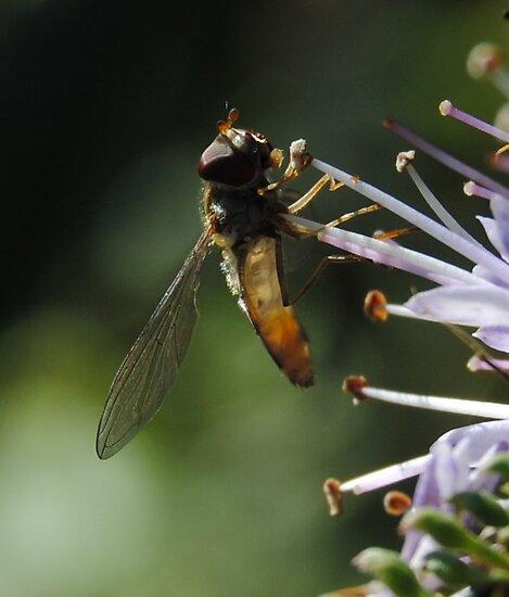 Marmalade Hoverfly 2# by onlyricky