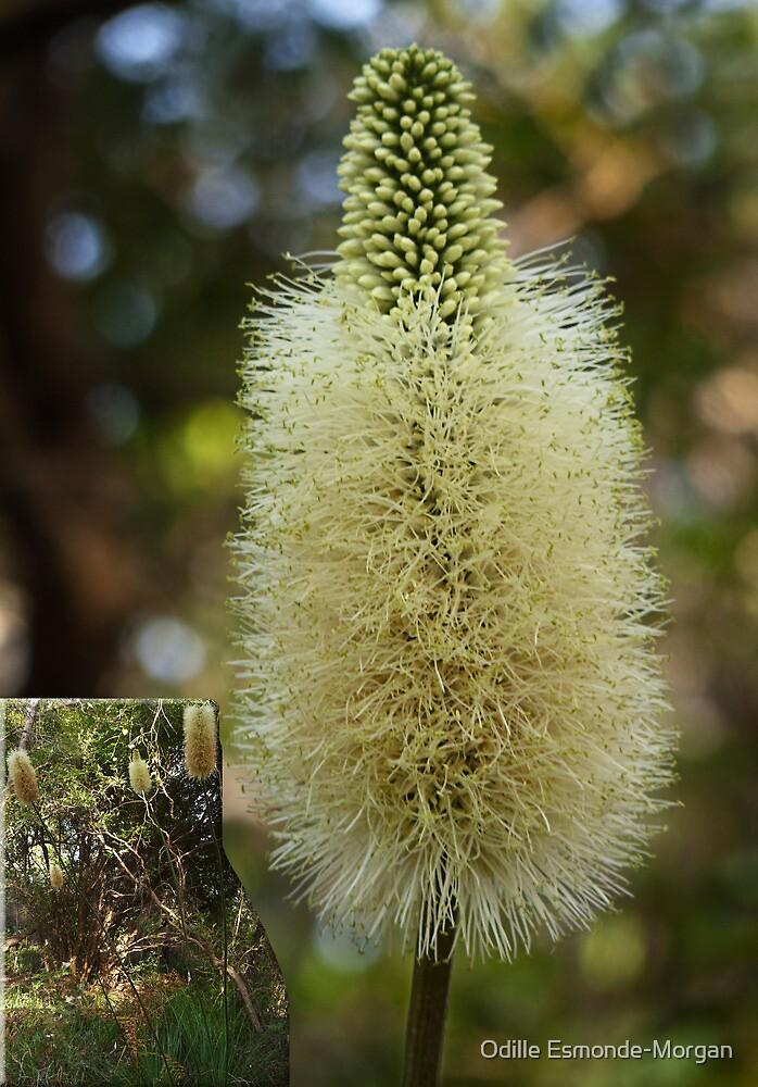 Xanthorrhoea macronema by Odille Esmonde-Morgan