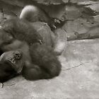 Gorilla Relaxing with his feet crossed by Julie  Davison