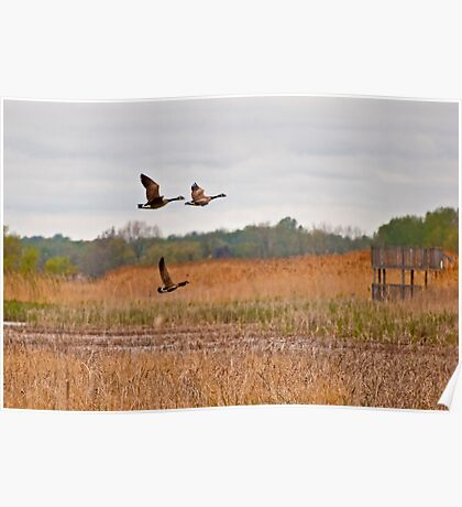 Three Geese in Flight Poster