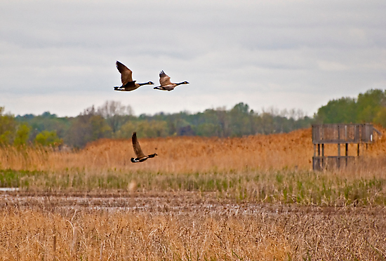 Three Geese in Flight by ArianaMurphy