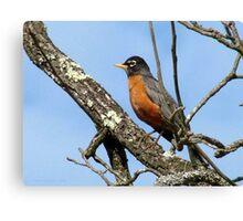 American Robin, Harbinger Of Spring Canvas Print