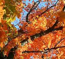 Fall Color Straight Up by Terry Aldhizer