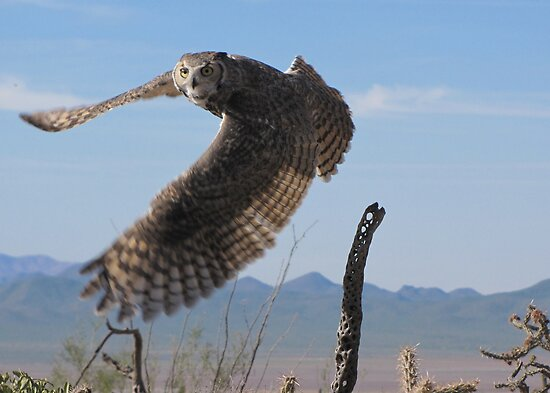 Great Horned Owl ~ 6mo Juvenile by Kimberly P-Chadwick