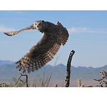 Great Horned Owl ~ 6mo Juvenile Photographic Print
