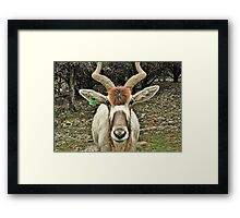 Addax - An Antelope with Style Framed Print
