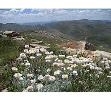 Hoary Sunray, Leucochrysum albicans, Mt Kosciuszko Summit NSW, Australia Photographic Print