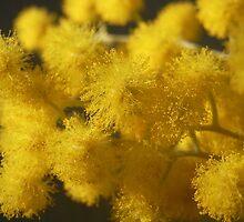 Acacia podalyriifolia - Golden Ball Wattle by Floralynne