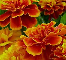 Dance with the Marigolds in the rain  >> by JuliaWright