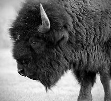 Buffalo at Mammoth, Yellowstone National Park by laurasonja