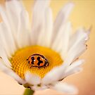 Resting on a Daisy by Josie Eldred