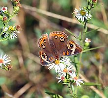 Beautiful Buckeye Butterfly by Terry Aldhizer