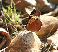 Buckeye Butterfly On Rock by Terry Aldhizer