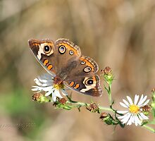 More Buckeye Butterfly Please :) by Terry Aldhizer