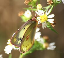 Pink Legged Orange Sulfur Butterfly by Terry Aldhizer