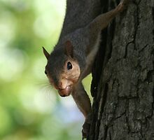 Fall Time And The Squirrels Go Nuts by Terry Aldhizer