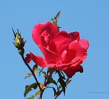 Blue Sky Red Rose by Terry Aldhizer