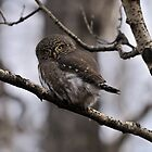 Northern Pygmy Owl by Ron Kube