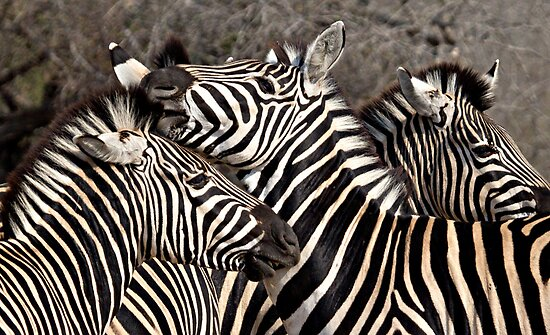 Zebras by Michael  Moss