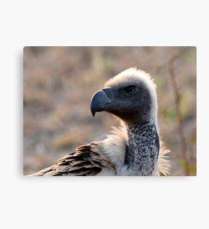 White Backed Vulture Close Up  Canvas Print