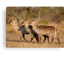Girls, Look At That Guys Horns! Canvas Print