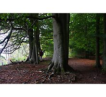 eves wood beeches 2a Photographic Print