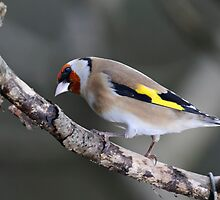 Goldfinch, The Rower, County Kilkenny, Ireland by Andrew Jones