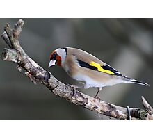 Goldfinch, The Rower, County Kilkenny, Ireland Photographic Print