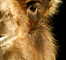 Bactrian Camel Eye by Tony Walton