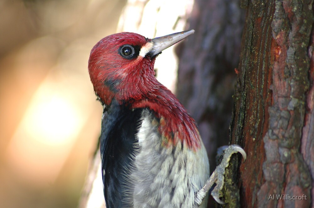 Profile of a Redbreasted Sapsucker by Al Williscroft