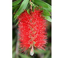 Bottle Brush After the Rain Photographic Print