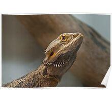 Bearded Dragon Profile Poster