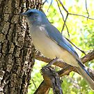 Mexican Jay ~ Madera Canyon by Kimberly Chadwick