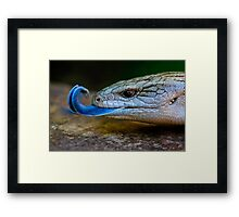 Blue-tongued Lizard  (Tiliqua scincoides scincoides) Framed Print