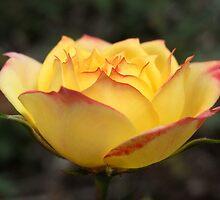rose VI by Floralynne