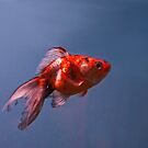 Goldfish in Suspension by ArianaMurphy