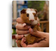 Handful of Baby Guinea Pig Canvas Print