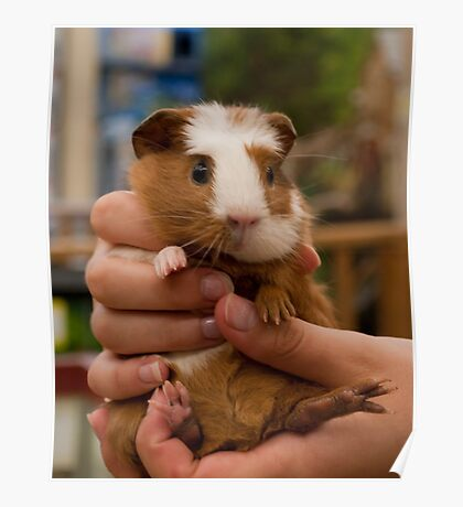 Handful of Baby Guinea Pig Poster