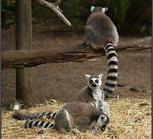 Lemur Days by Sharlene Bicker