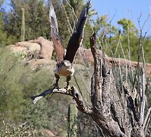 """Here I come!"" Ferruginous Hawk by Sherry Pundt"
