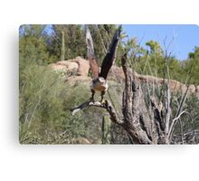 """Here I come!"" Ferruginous Hawk Canvas Print"