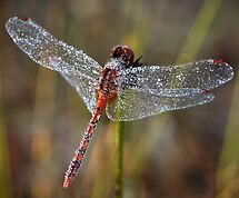 """""""All Covered In Dew"""" by Heather Thorning"""