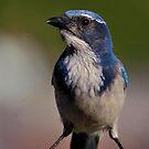 WESTERN BLUE JAY by RoseMarie747