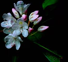 Mountain Laurel by Debra Fedchin