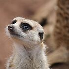 Meet Mr Meerkat by kat86